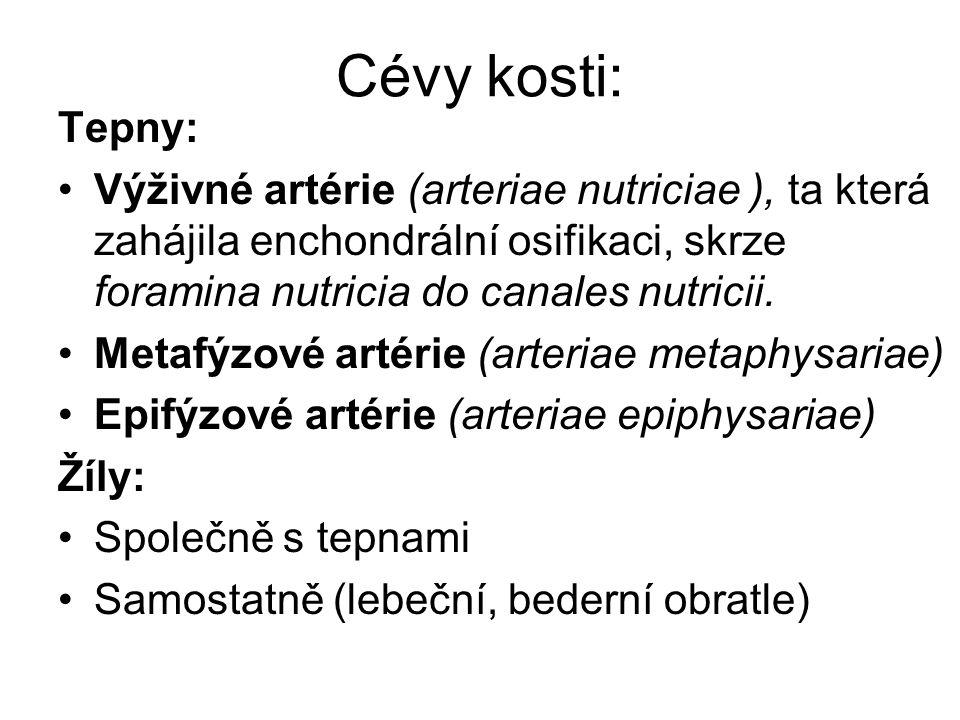 Cévy kosti: Tepny: Výživné artérie (arteriae nutriciae ), ta která zahájila enchondrální osifikaci, skrze foramina nutricia do canales nutricii.