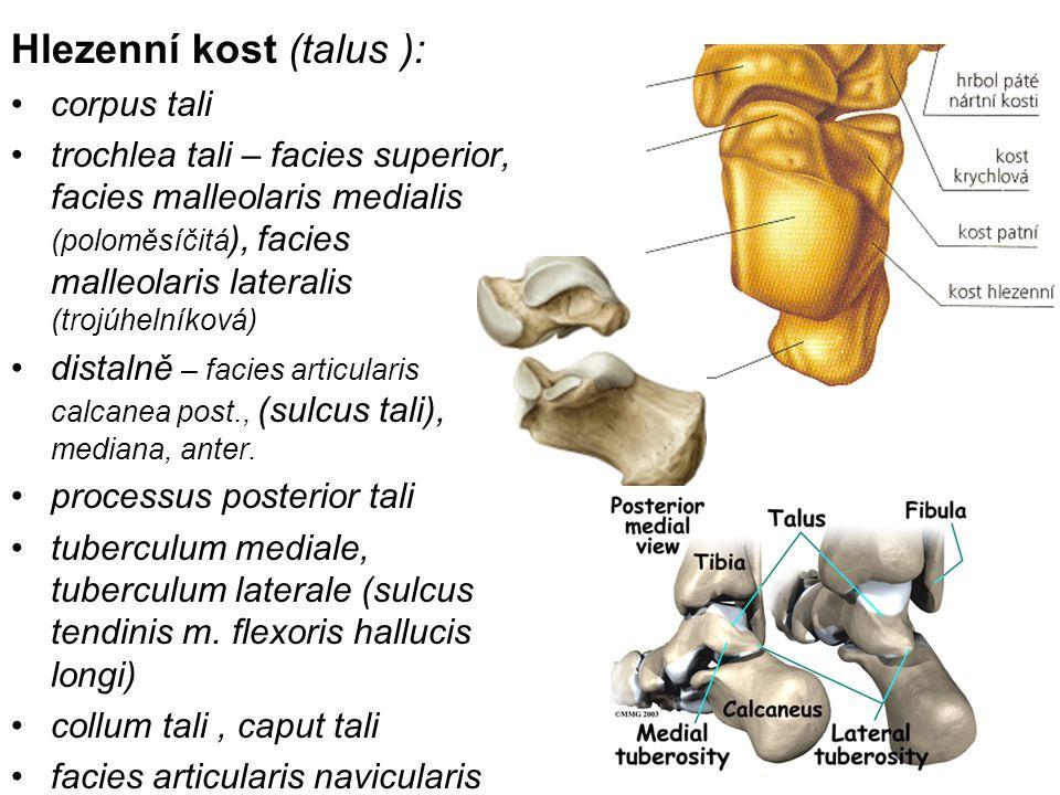 Hlezenní kost (talus ):