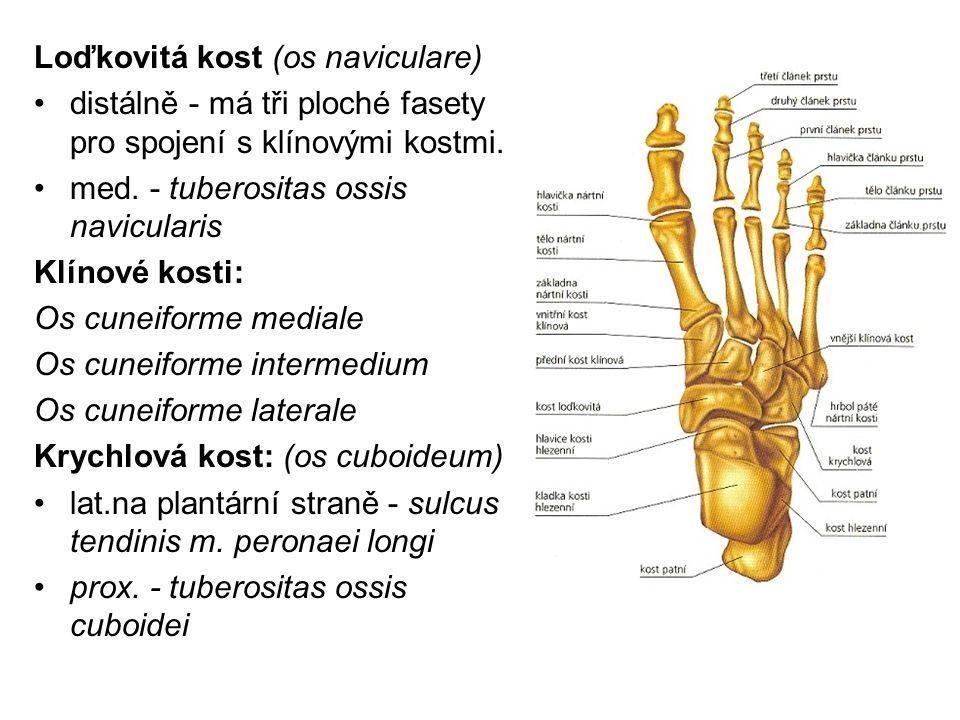 Loďkovitá kost (os naviculare)