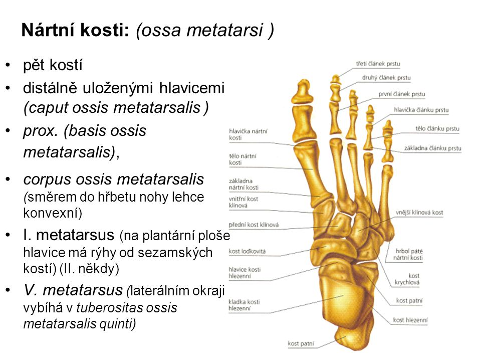 Nártní kosti: (ossa metatarsi )