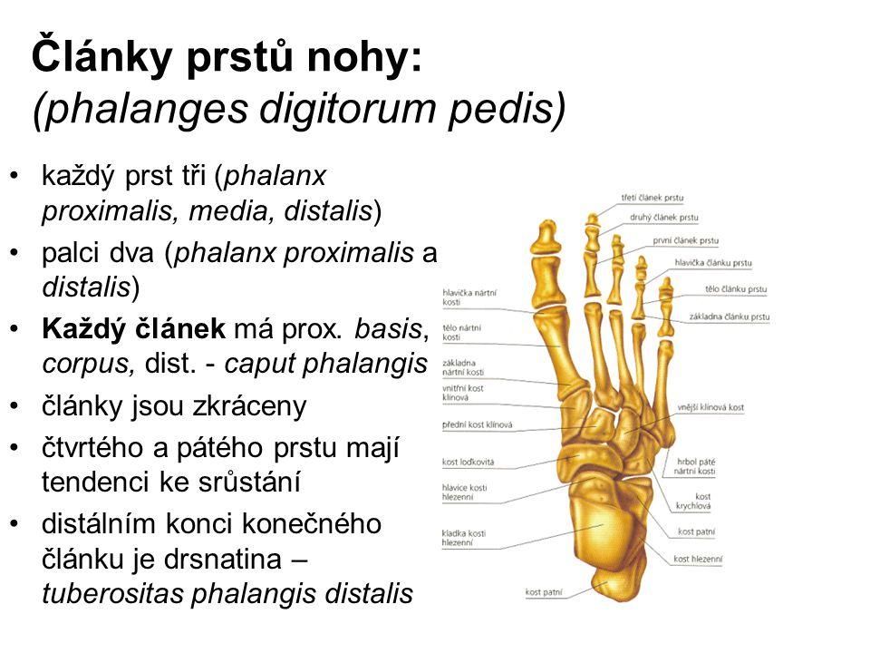 Články prstů nohy: (phalanges digitorum pedis)