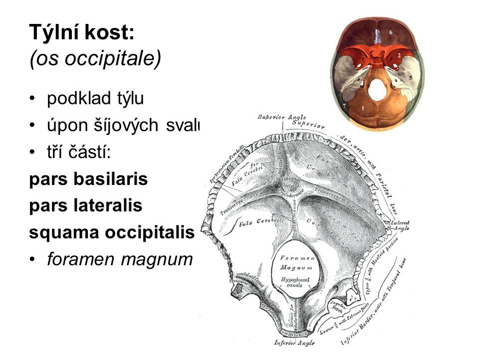 Týlní kost: (os occipitale)