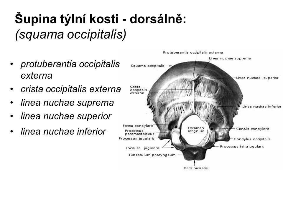Šupina týlní kosti - dorsálně: (squama occipitalis)