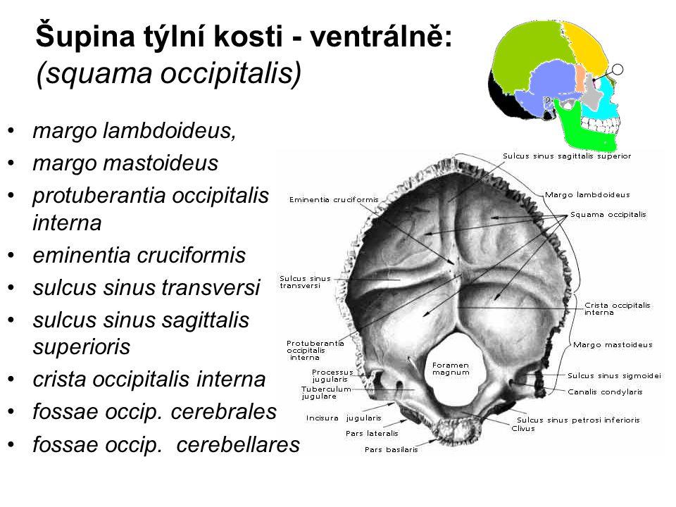 Šupina týlní kosti - ventrálně: (squama occipitalis)