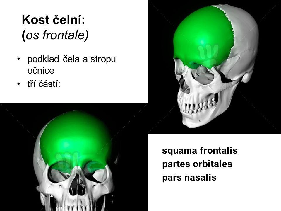 Kost čelní: (os frontale)
