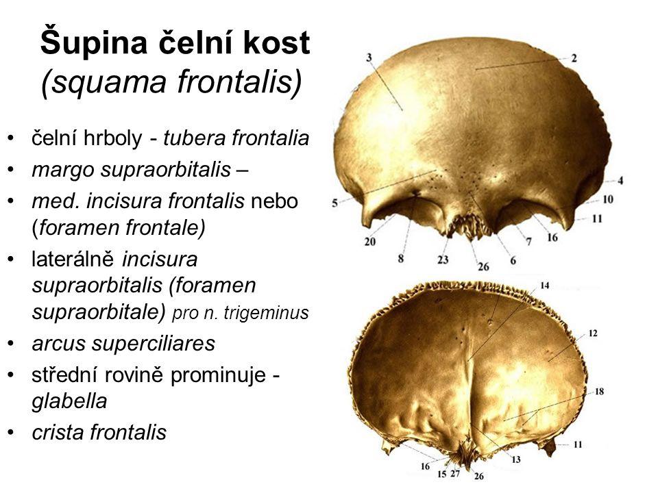 Šupina čelní kosti: (squama frontalis)