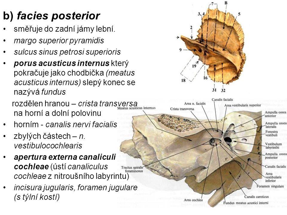 b) facies posterior směřuje do zadní jámy lební.