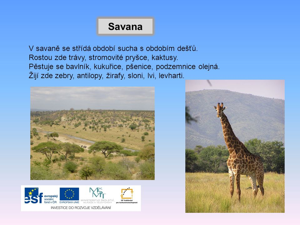 Savana V savaně se střídá období sucha s obdobím dešťů.