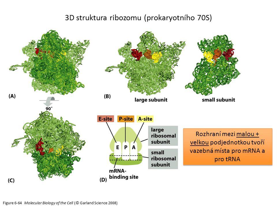 3D struktura ribozomu (prokaryotního 70S)