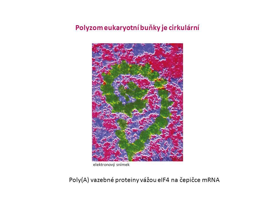 Polyzom eukaryotní buňky je cirkulární