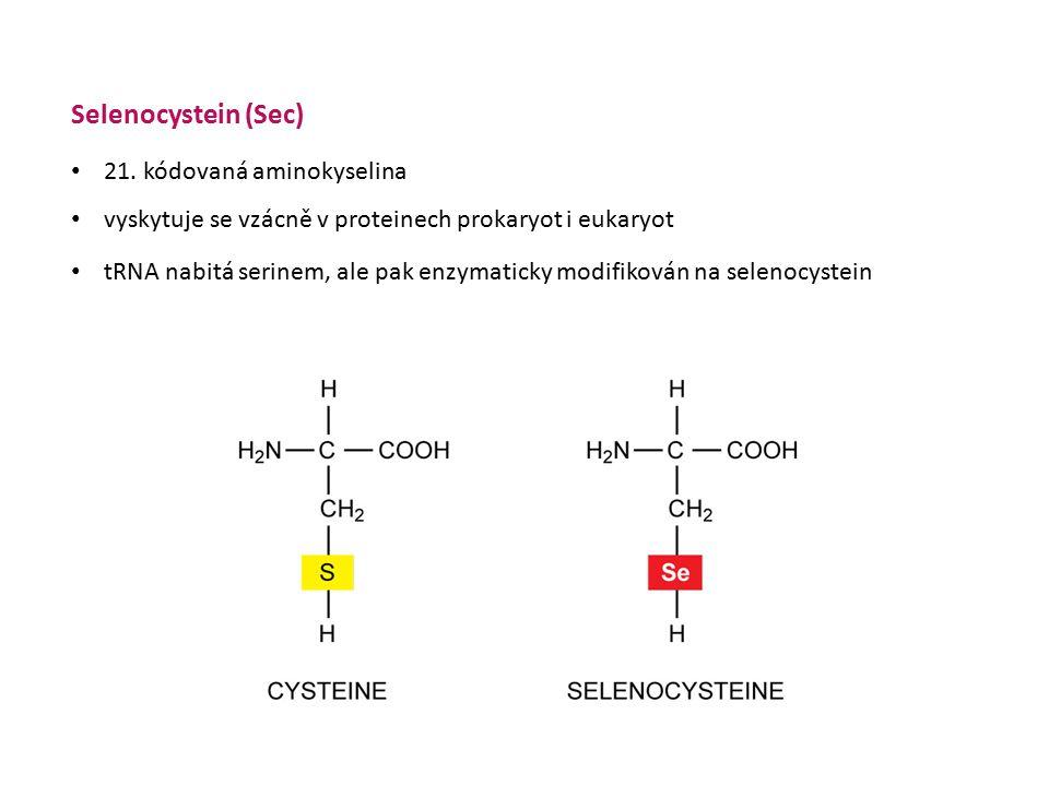 Selenocystein (Sec) 21. kódovaná aminokyselina