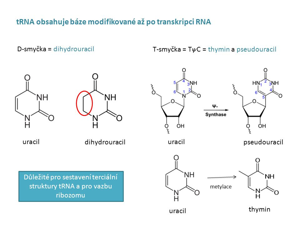 Důležité pro sestavení terciální struktury tRNA a pro vazbu ribozomu