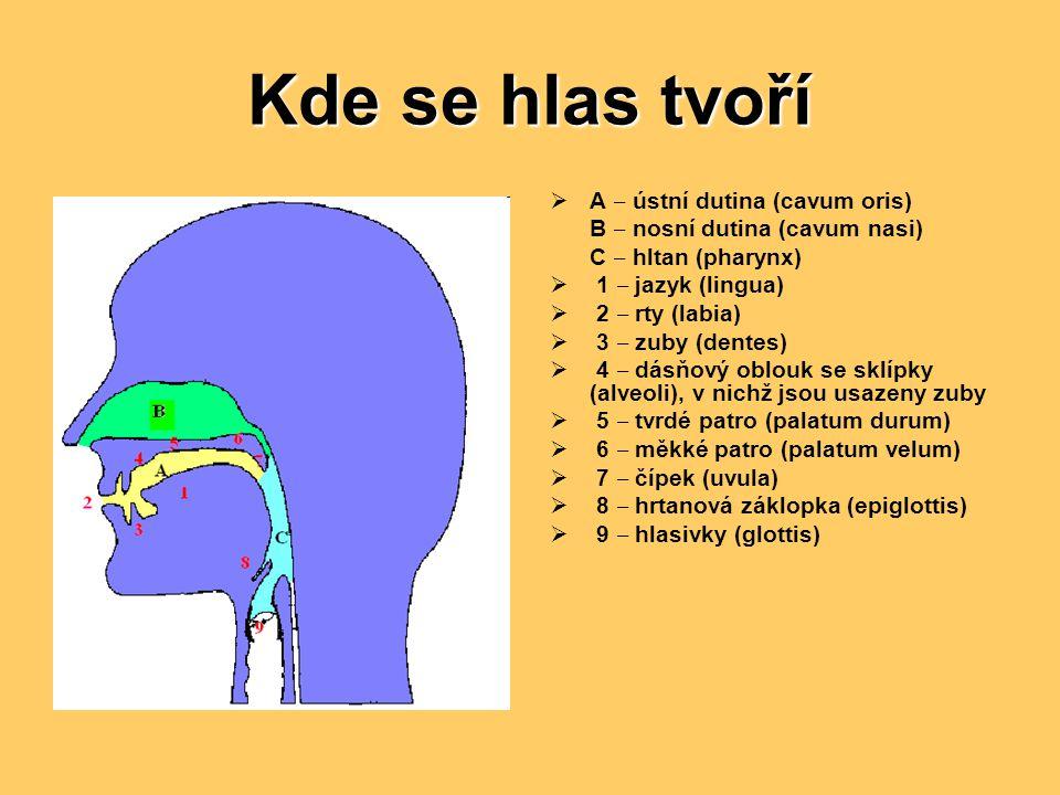 Kde se hlas tvoří A ‒ ústní dutina (cavum oris)