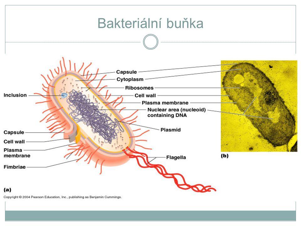 Bakteriální buňka