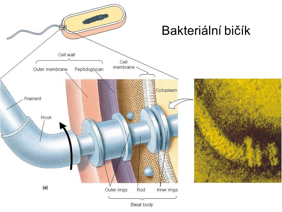 Bakteriální bičík