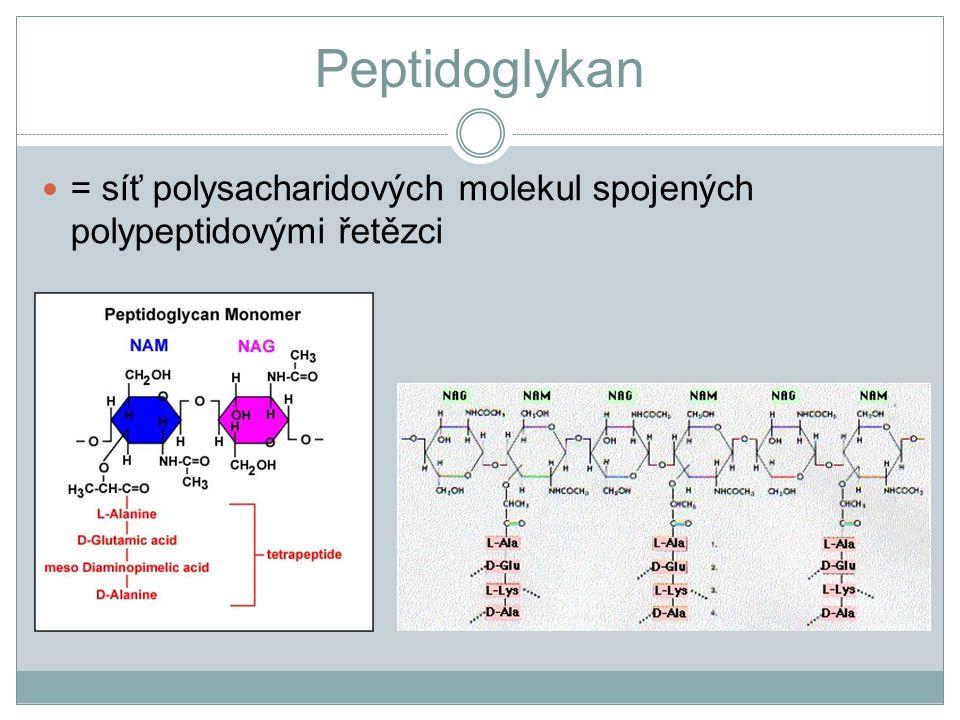 Peptidoglykan = síť polysacharidových molekul spojených polypeptidovými řetězci