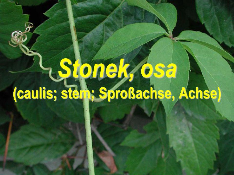 Stonek, osa (caulis; stem; Sproßachse, Achse)