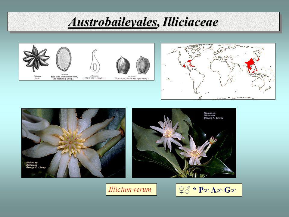 Austrobaileyales, Illiciaceae