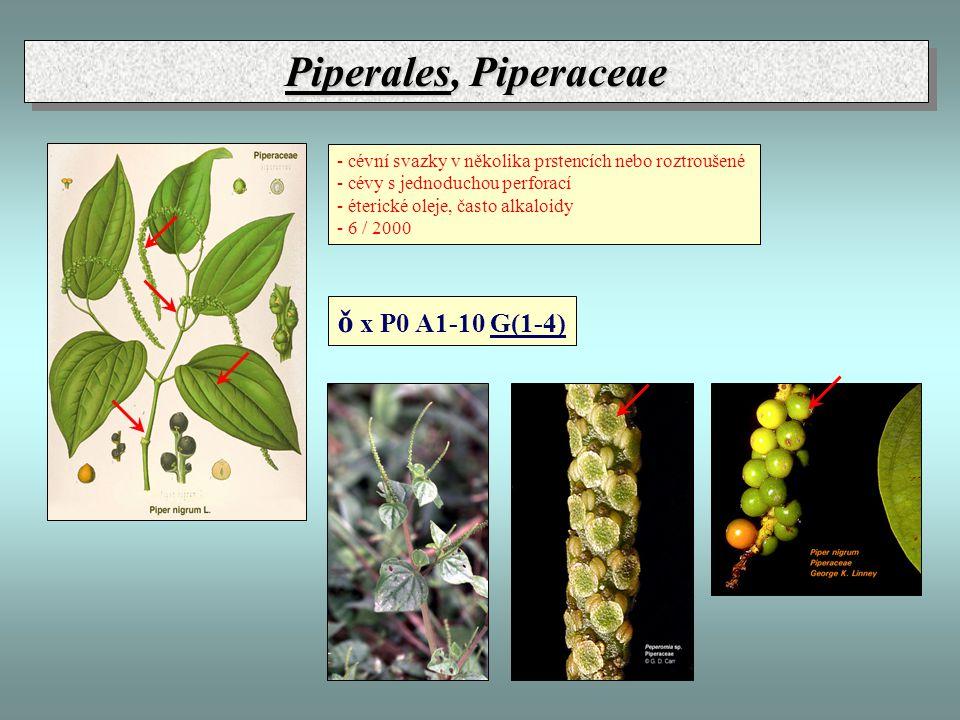 Piperales, Piperaceae ǒ x P0 A1-10 G(1-4)