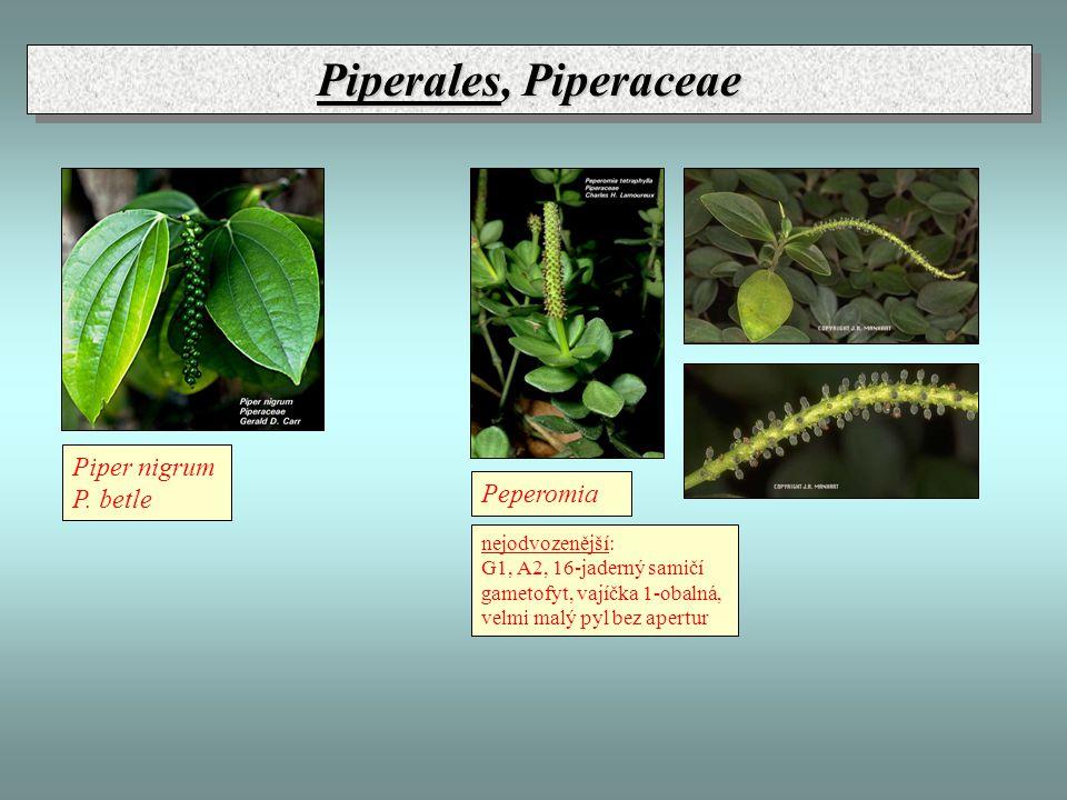 Piperales, Piperaceae Piper nigrum P. betle Peperomia nejodvozenější: