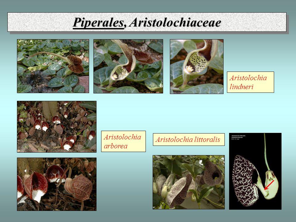 Piperales, Aristolochiaceae