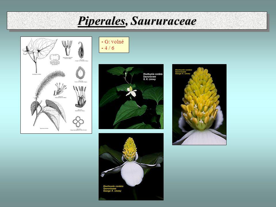 Piperales, Saururaceae