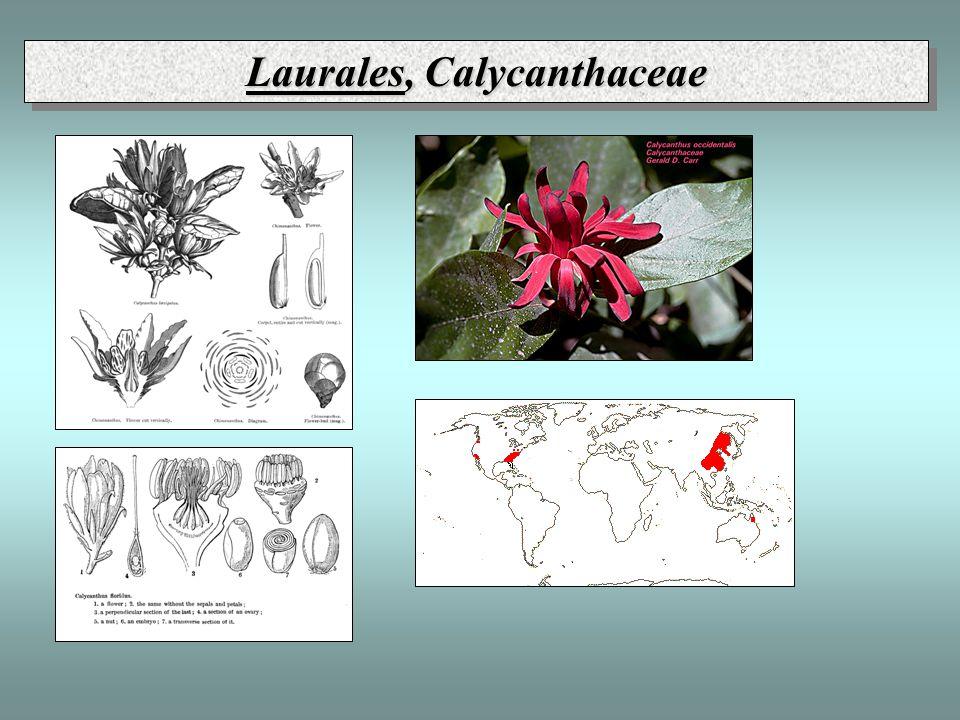 Laurales, Calycanthaceae