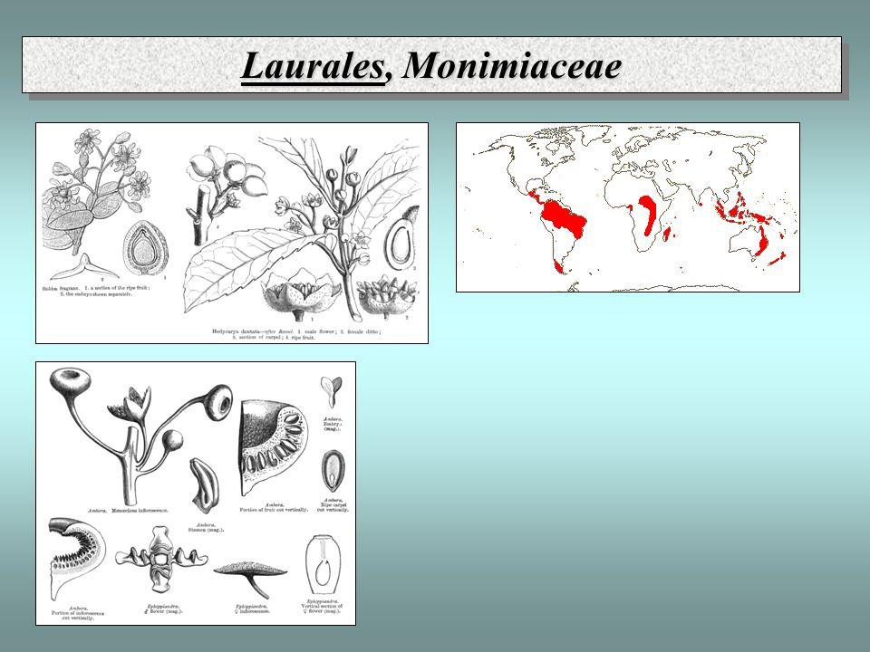 Laurales, Monimiaceae
