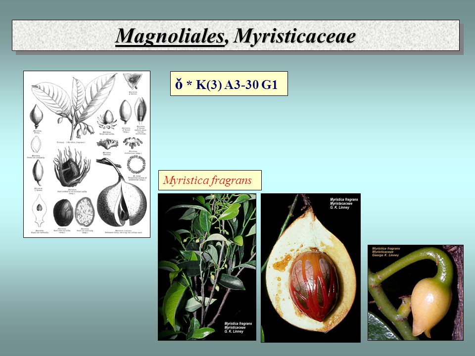 Magnoliales, Myristicaceae