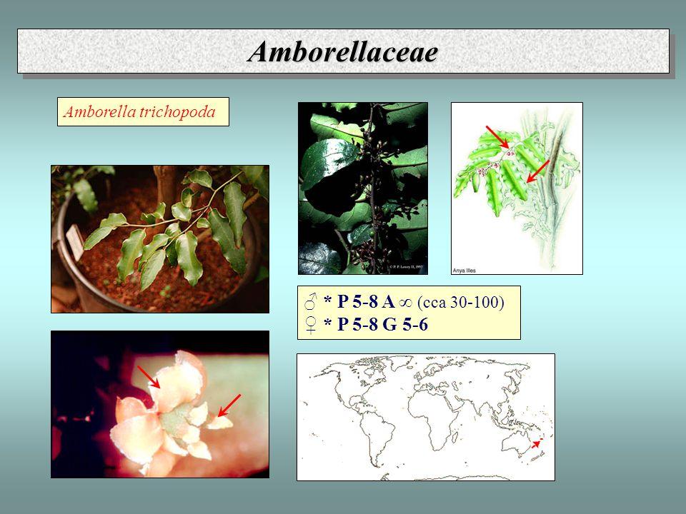 Amborellaceae ♂ * P 5-8 A ∞ (cca 30-100) ♀ * P 5-8 G 5-6