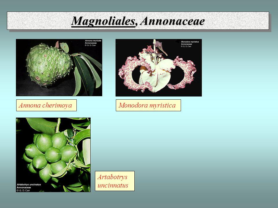 Magnoliales, Annonaceae