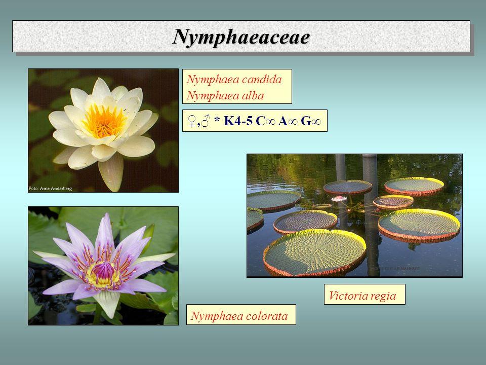 Nymphaeaceae ♀,♂ * K4-5 C∞ A∞ G∞ Nymphaea candida Nymphaea alba