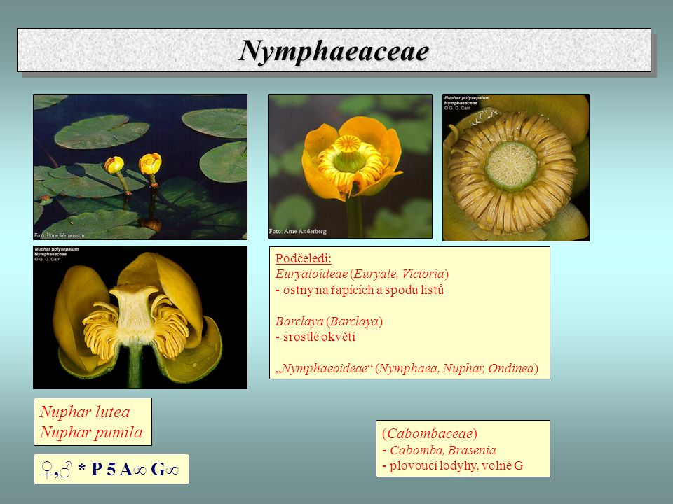 Nymphaeaceae ♀,♂ * P 5 A∞ G∞ Nuphar lutea Nuphar pumila (Cabombaceae)