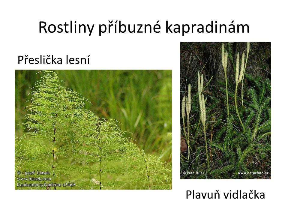Rostliny příbuzné kapradinám