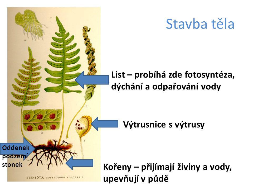 Stavba těla List – probíhá zde fotosyntéza, dýchání a odpařování vody