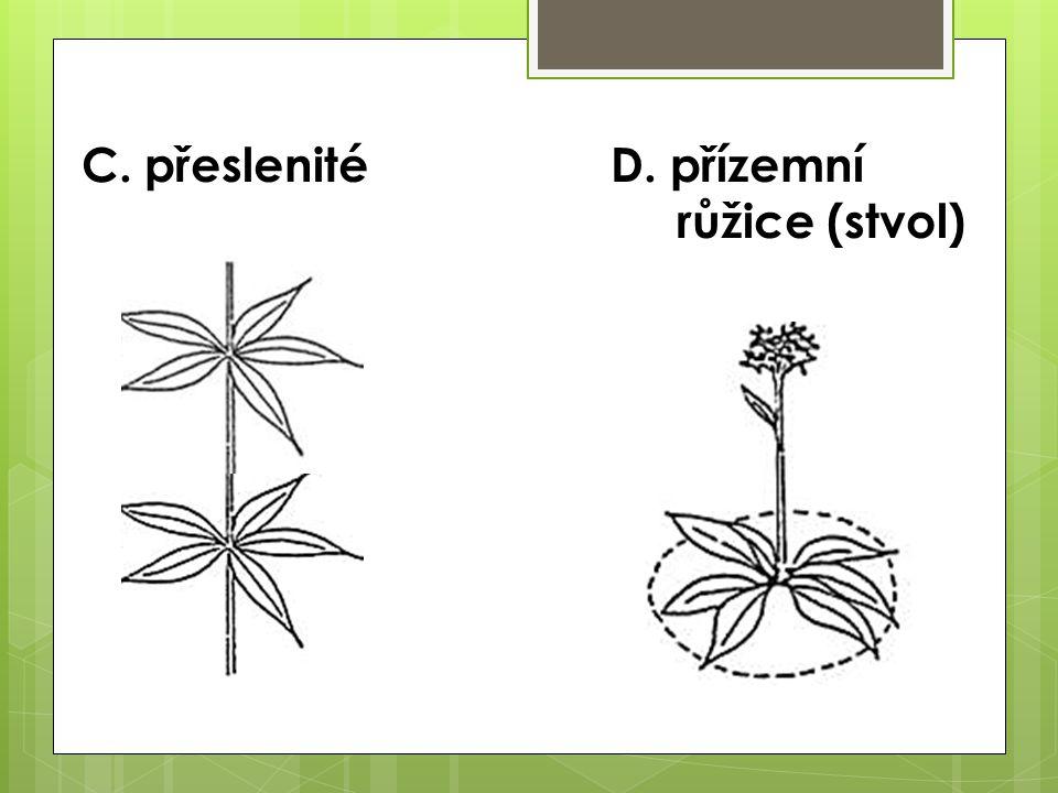 C. přeslenité D. přízemní růžice (stvol)