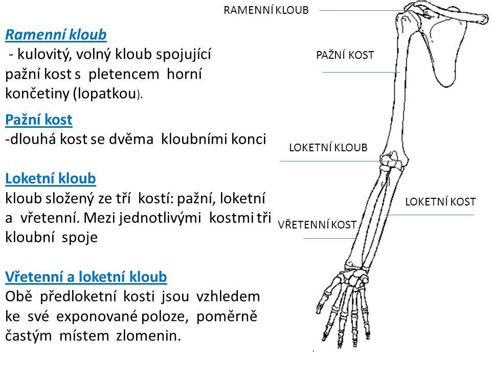 dlouhá kost se dvěma kloubními konci Loketní kloub