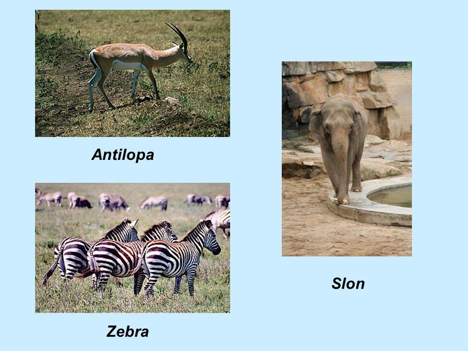 Antilopa Slon Zebra