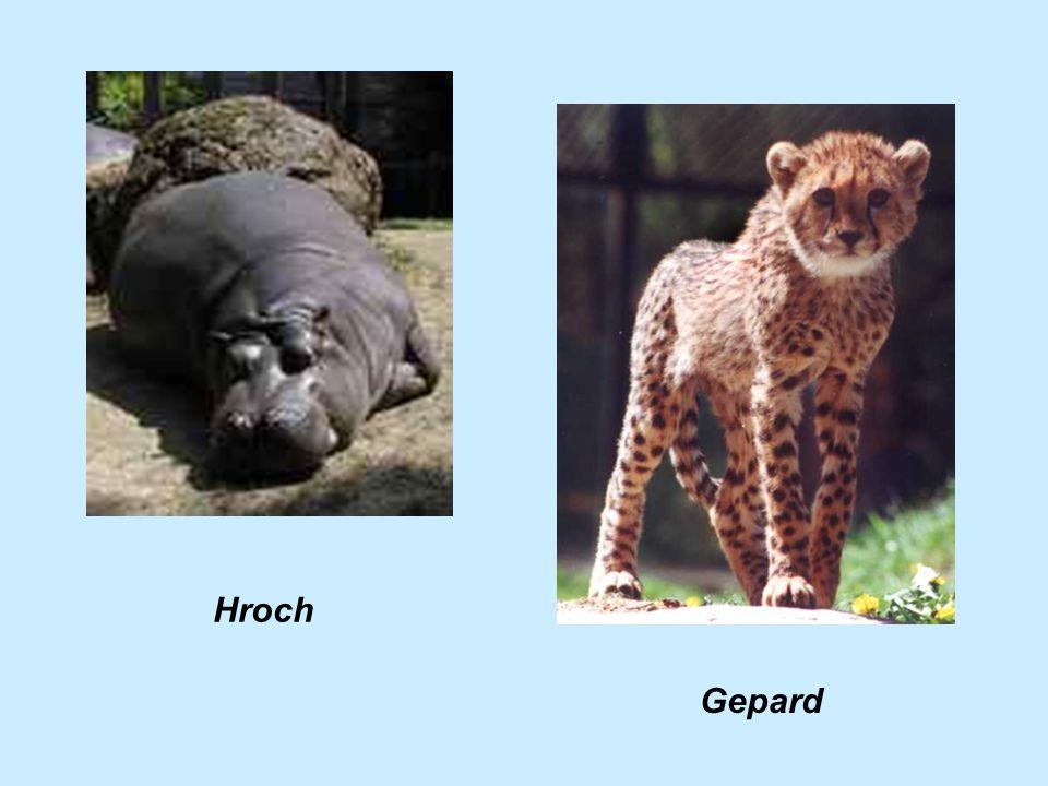 Hroch Gepard