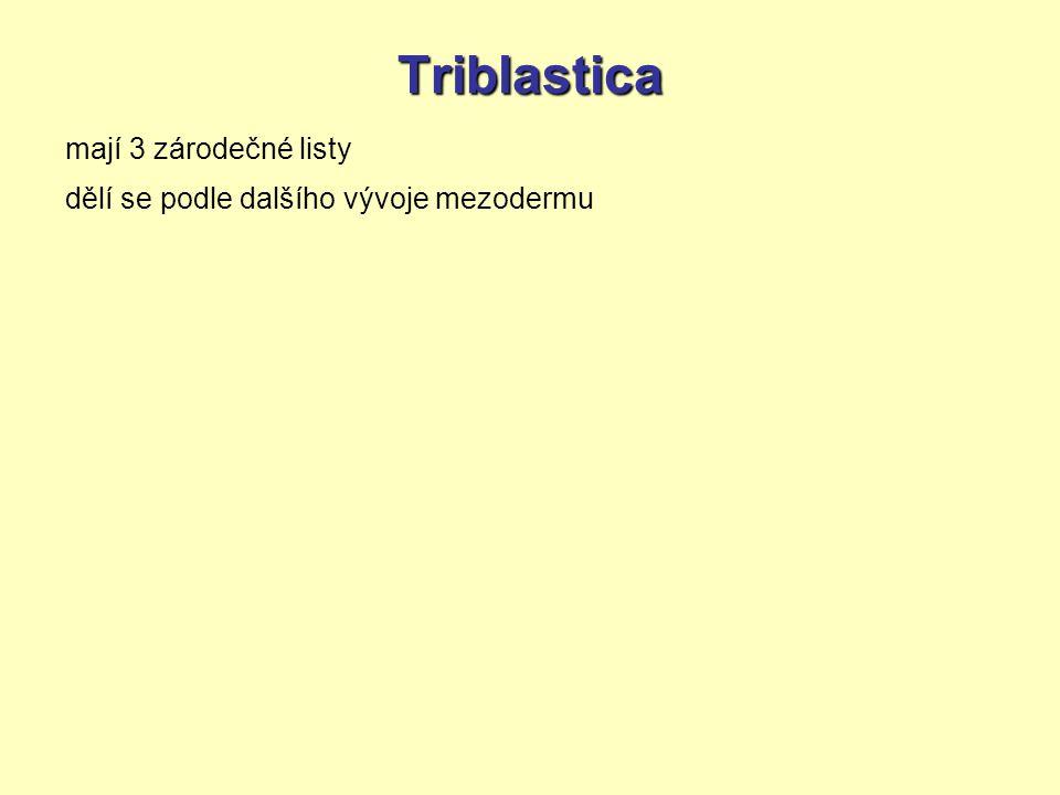 Triblastica mají 3 zárodečné listy