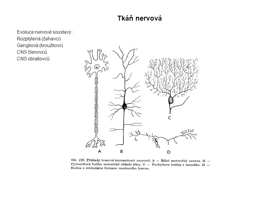 Tkáň nervová Evoluce nervové soustavy : Rozptýlená (žahavci)