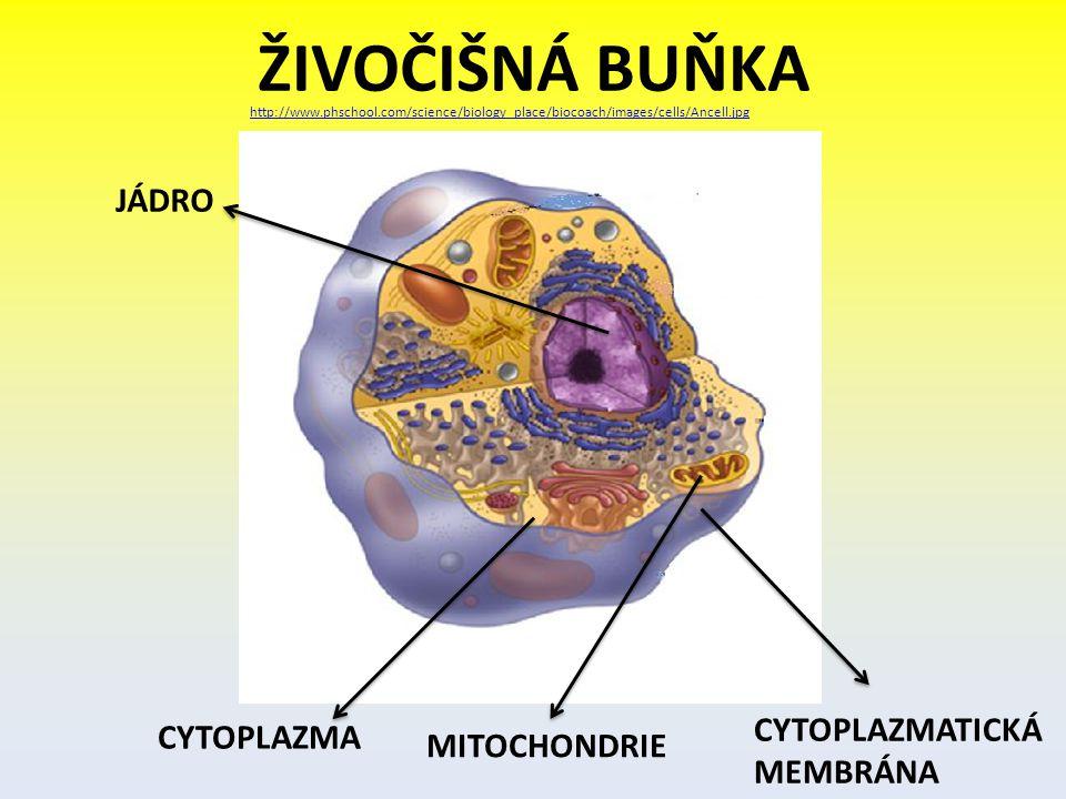 ŽIVOČIŠNÁ BUŇKA JÁDRO CYTOPLAZMATICKÁ MEMBRÁNA CYTOPLAZMA MITOCHONDRIE