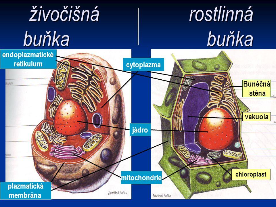 živočišná rostlinná buňka buňka