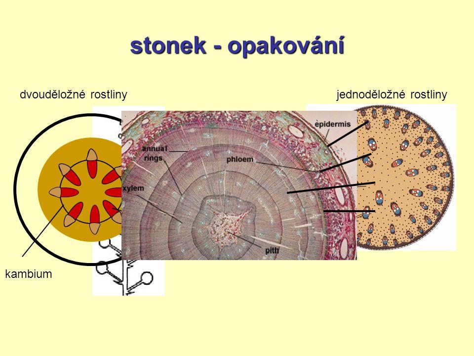 stonek - opakování epidermis = pokožka primární kůra střední válec