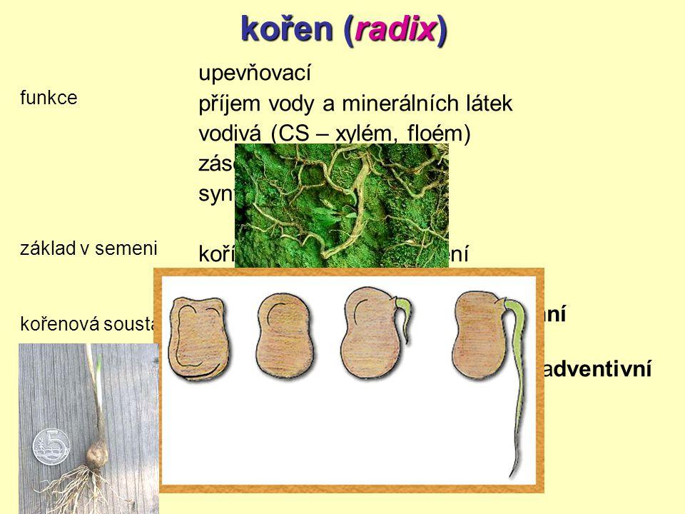 kořen (radix) upevňovací příjem vody a minerálních látek
