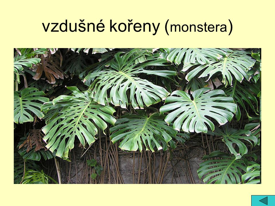 vzdušné kořeny (monstera)