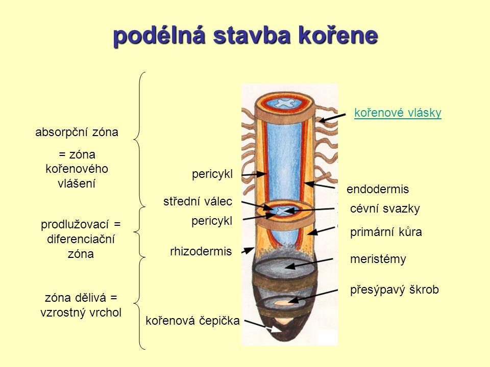 podélná stavba kořene kořenové vlásky absorpční zóna