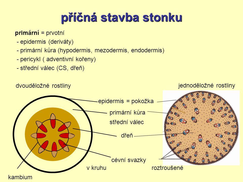 příčná stavba stonku primární = prvotní - epidermis (deriváty)