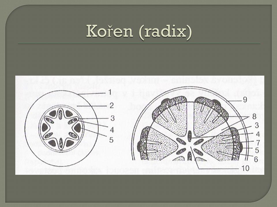 Kořen (radix) 1-rhizodermis, 2-primarni kura, 3-kambium, 4-drevo, 5-lyko