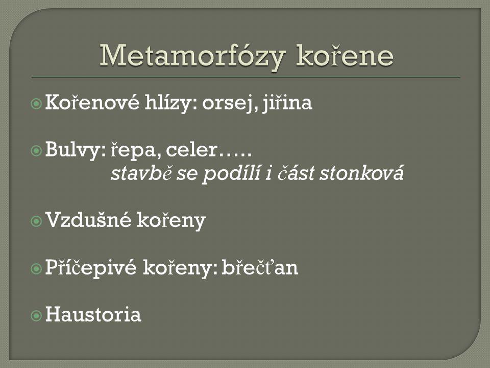 Metamorfózy kořene Kořenové hlízy: orsej, jiřina Bulvy: řepa, celer…..